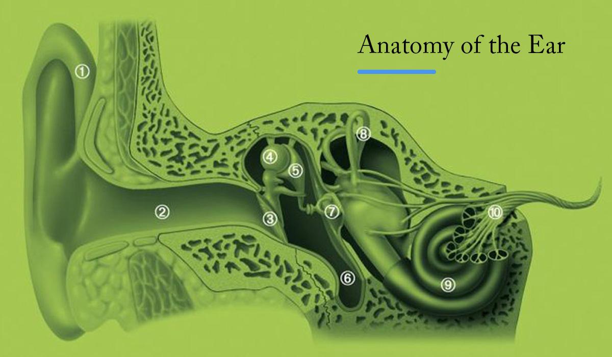 Hearing Health Anatomy Of The Ear Hearing Max Mirhosseini